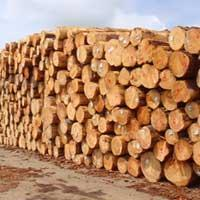 Cheap Pine Wood wholesale
